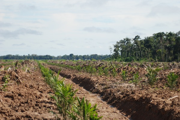 Newly planted oil palm at one of the plantations. Photo by John Cannon.
