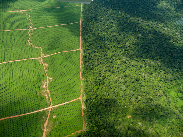 Two palm oil plantations have recently been established in Peru, supplanting primary forest. Satellite imagery analysis shows extent of the massive development, which is led by a group of companies tied to plantation entrepreneur and United Cacao CEO Dennis Melka. Photo courtesy of the Environmental Investigation Agency.