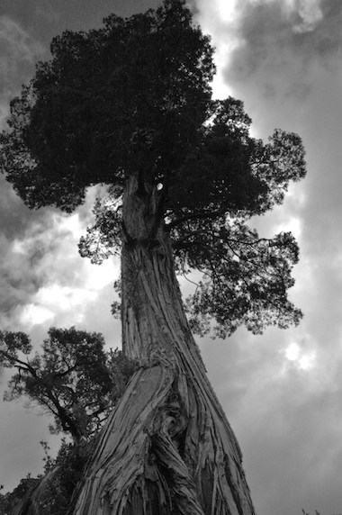 A single, old-growth alerce tree left standing in a clearing. The species (Fitzroya cupressoides) grows more than 150 feet tall. The oldest one on record was 3,622 years old. Photo by Robert Heilmayr.