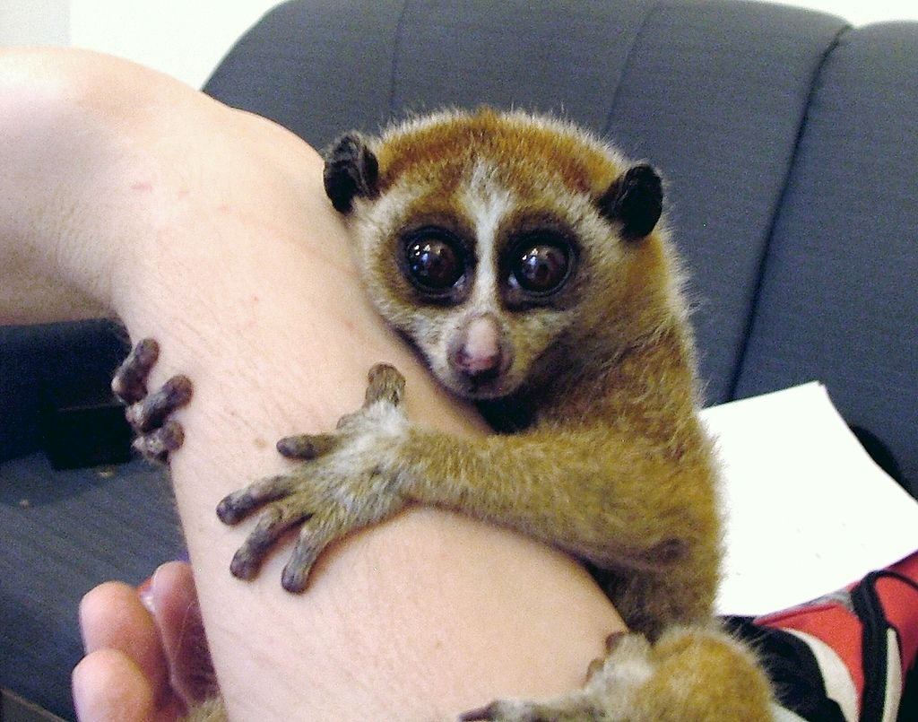 Slow Lorises have become popular pets in Japan, which is fueling their illegal trade. Photo from Wikimedia Commons (Public Domain).