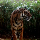 Indonesian tiger smugglers escape with light sentences in Sumatra
