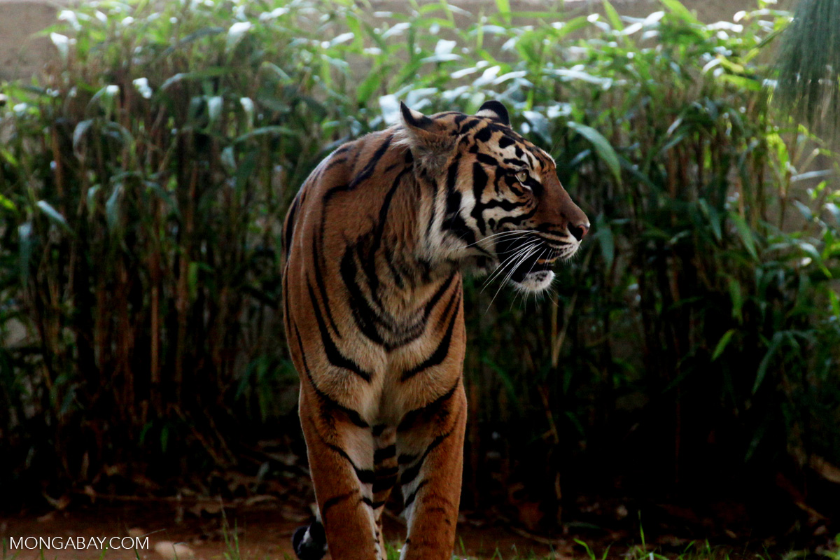 A Sumatran tiger, a critically endangered species. The peat forests of the Kampar Peninsula is one of its last strongholds. Photo by Rhett A. Butler.