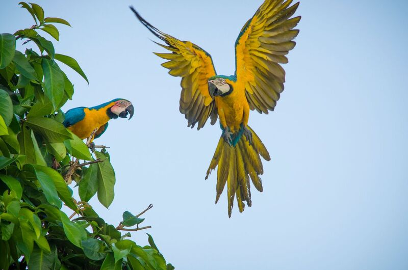 Two macaws in the Uatumã Biological Reserve in the state of Amazonas, Brazil, part of WWF's. Amazon Region Protected Areas program. Photo by WWF-US / Ricardo Lisboa.