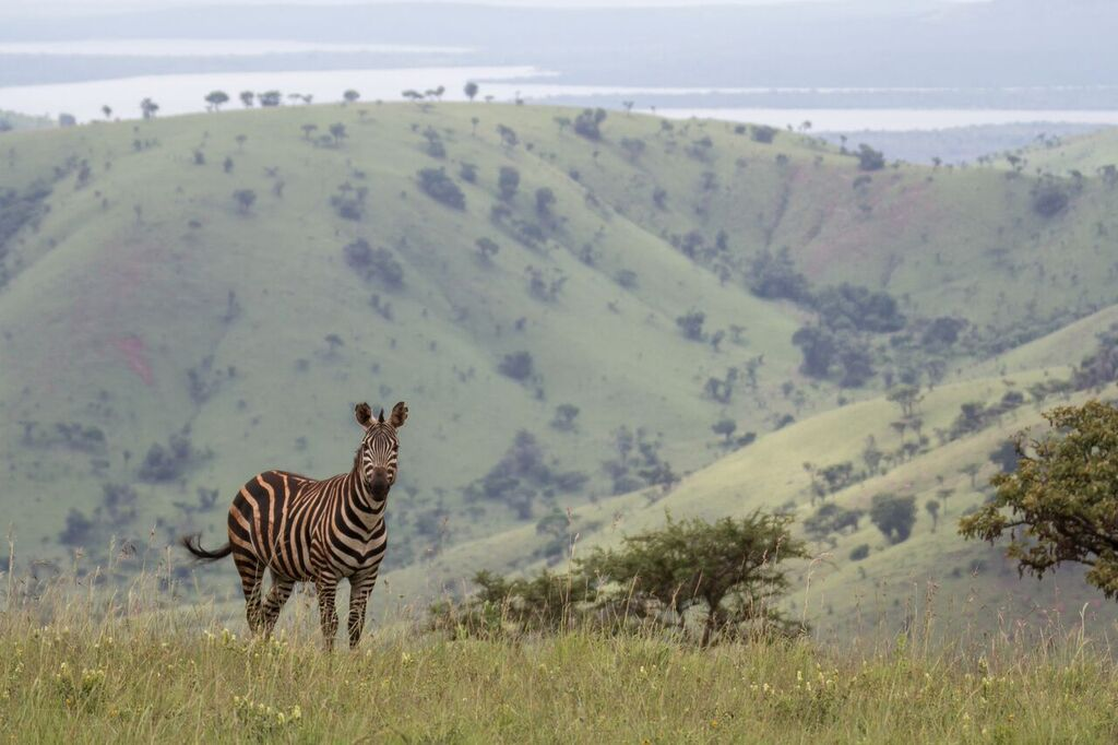 A zebra in Akagera National Park, Rwanda. Photo by John Dickens/African Parks.