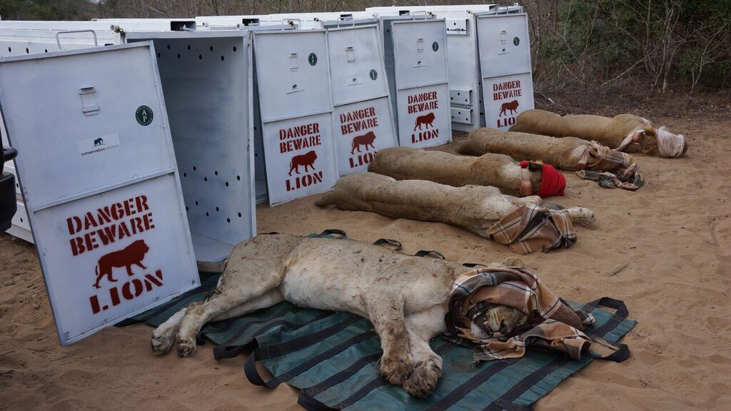 Five lionesses transported from South Africa and reintroduced to Rwanda's Akagera National Park. Lions had been absent from the country for 15 years. African Parks, the NGO managing the park, claims credit for bringing them back. Photo by Dave Toohey/African Parks.