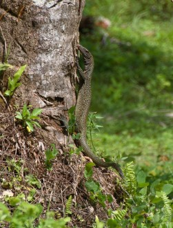 An adult Varanus semotus in its habitat at the outskirts of the village of Nai. Photo by Valter Weijola