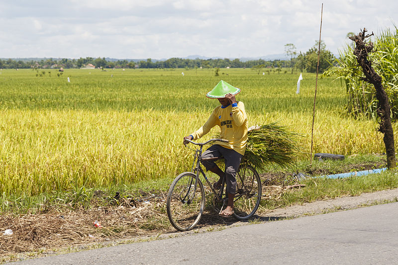 An Indonesian farmer rides a bicycle in front of a rice paddy in Java. Photo by Uwe Aranas/Wikimedia Commons