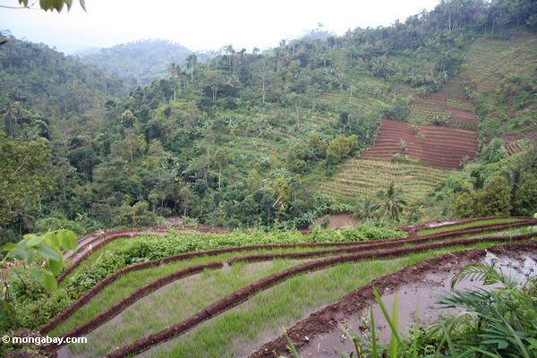 Terraced rice and banana agriculture in Java. Photo by Rhett A. Butler