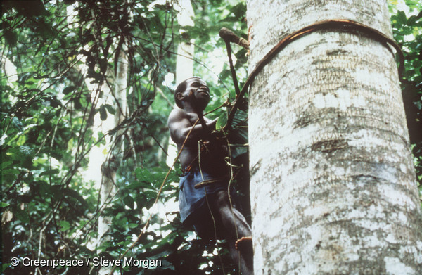 Baka (pygmy tribe) boy climbing tree in rainforest to collect honey. Photo courtesy of Greenpeace / Steve Morgan