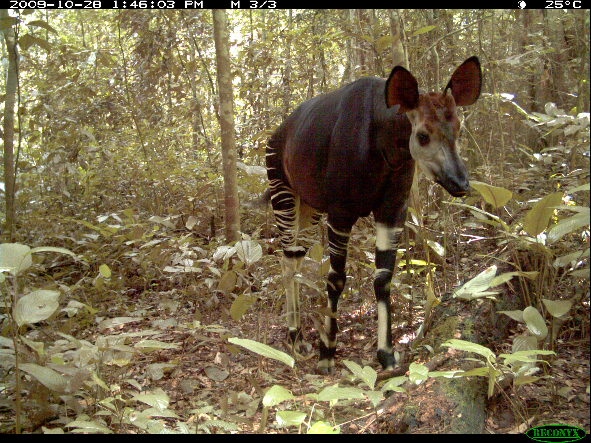 an analysis of environmental adaptations of the okapi and giraffe What a creative essay about immigration is an environmental an analysis of the external  of environmental adaptations of the okapi and giraffe.