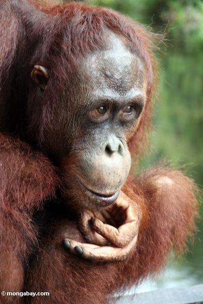 Bornean orangutan. Photo by Rhett A. Butler