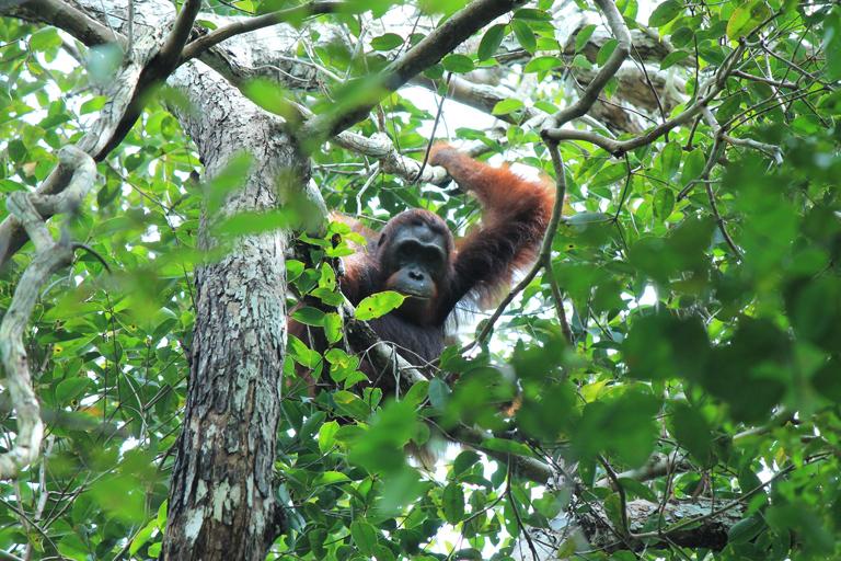 Wild orangutan in West Kalimantan. Photo by Erik Meijaard.