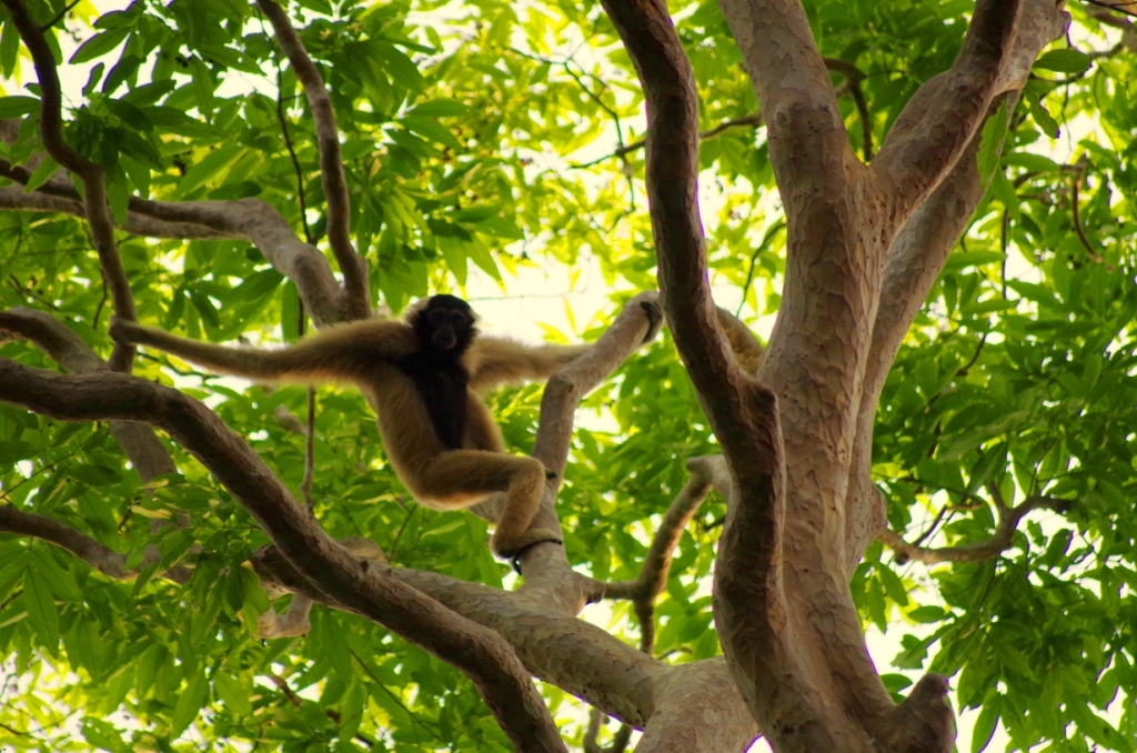 Pileated Gibbons are an endangered species found in Thailand, Laos, and Cambodia. Their habitat is threatened by encroaching industrial agricultural development and hunting. WCS has a long-running gibbon conservation project in Cambodia's Northern Plains region. Photo courtesy of Julia Dolhem (WCS).