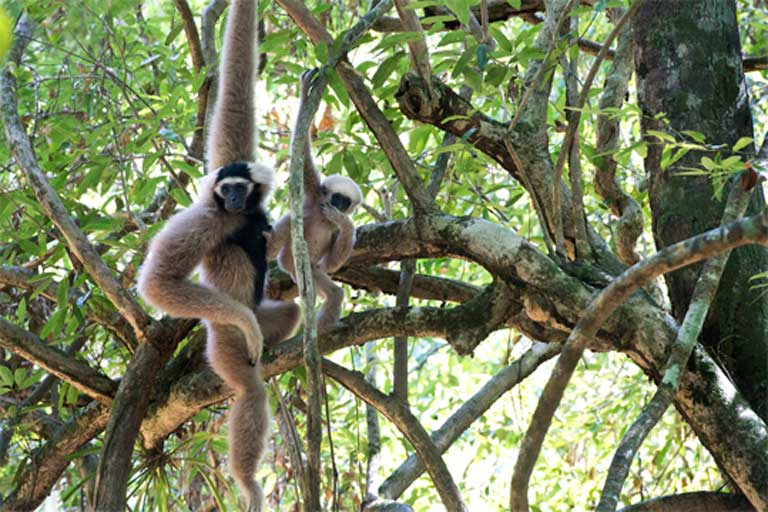 Mother and baby Pileated Gibbon. Photo © Jeremy Holden / WildLife Alliance