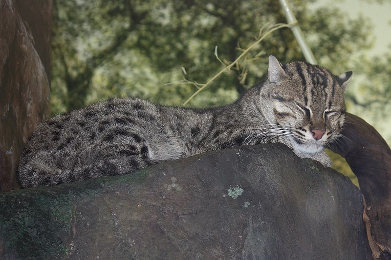 Fishing Cat (Prionailurus viverrinus). Cambodia's Dry Forest Ecoregion is home to many rare and unususal animal species. Photo by Ltshears licensed under the Creative Commons Attribution-Share Alike 3.0 Unported