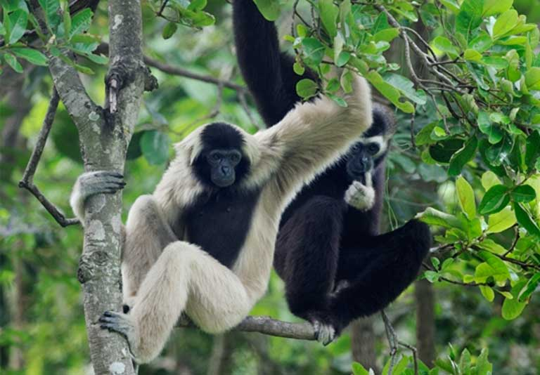 Female (left) and male (right) Pileated Gibbon. Photo © Jeremy Holden / WildLife Alliance