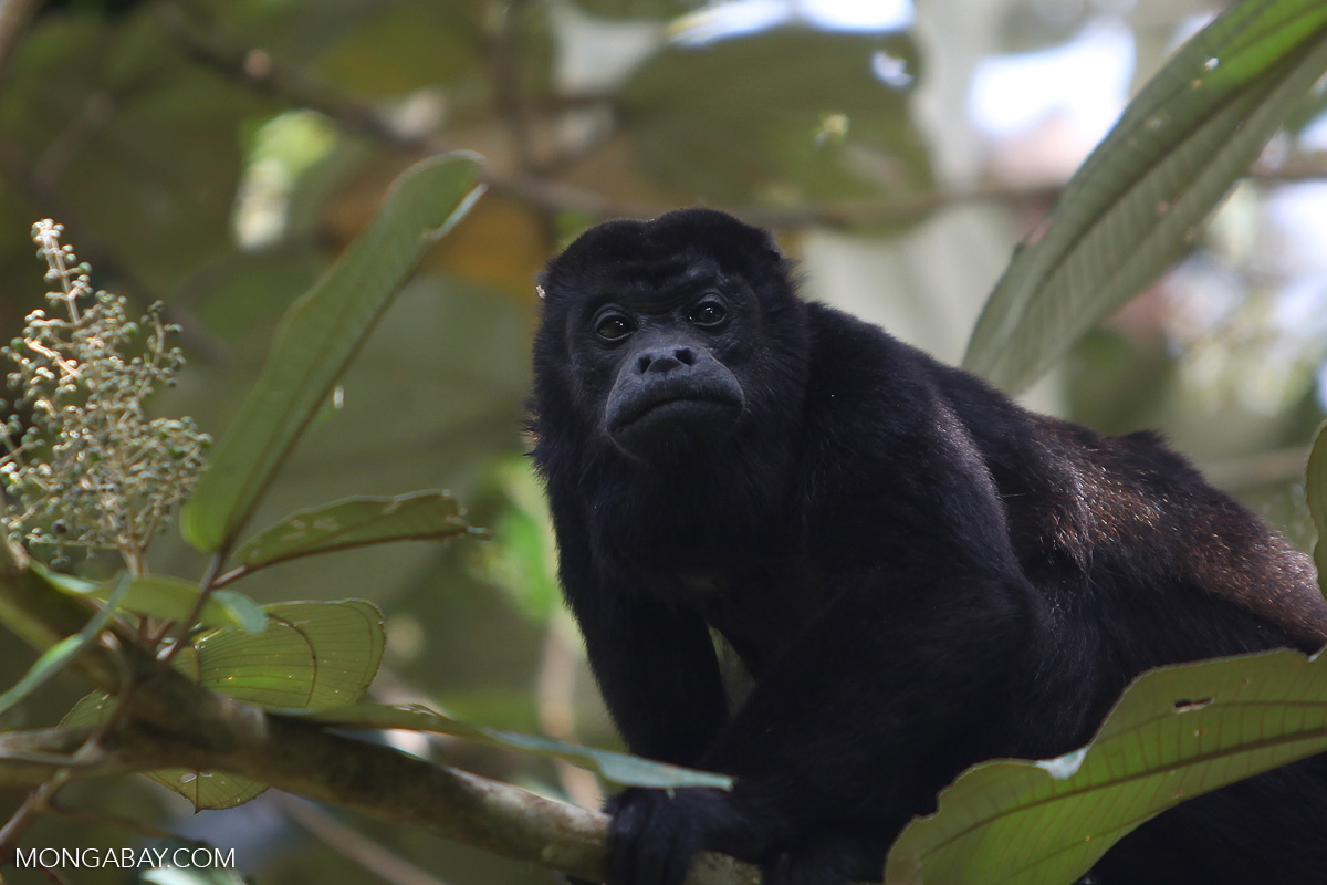 Mystery surrounds death of 44 howler monkeys in Ecuador wildlife reserve