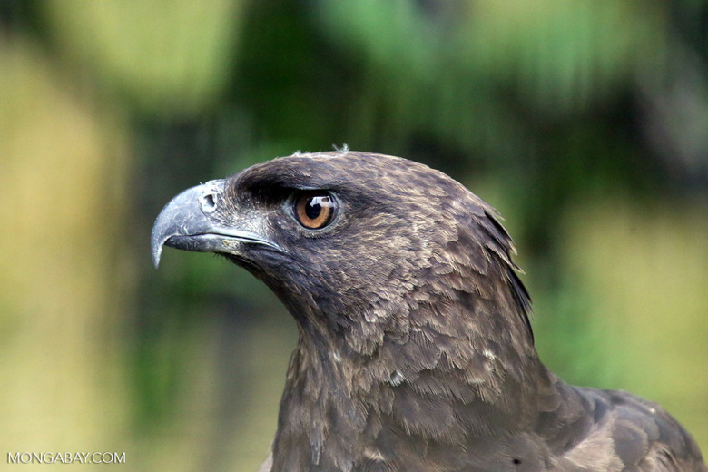 Changeable hawk-eagle (Nisaetus cirrhatus). Photo by Rhett Butler.