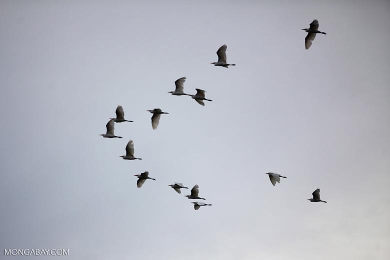 A flock of egrets. Photo by Rhett Butler.