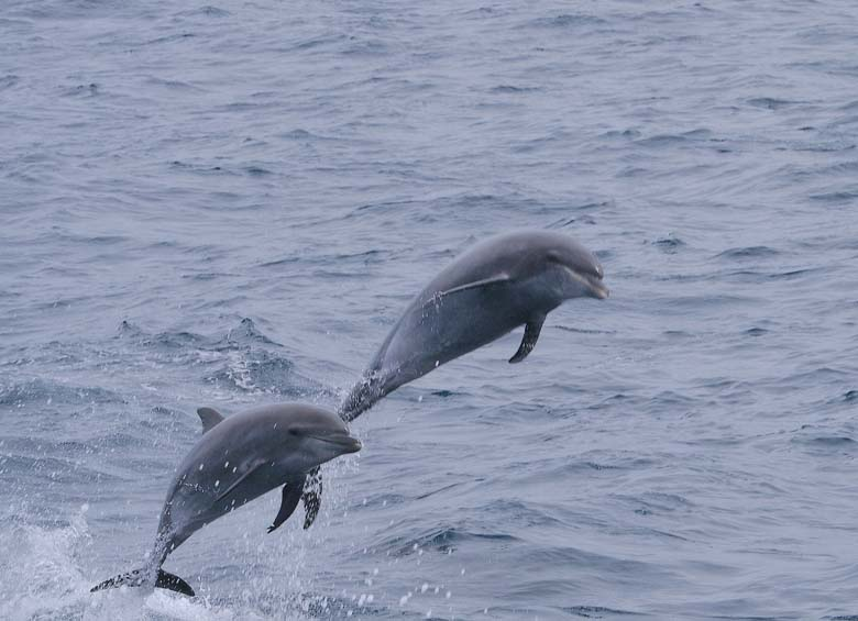 A pair of bottlenose dolphins. Photo by Gregory Smith/CC BY-SA 2.0