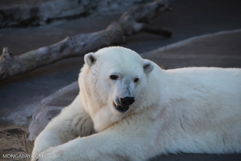 Polar bear. Photo by Rhett Butler.