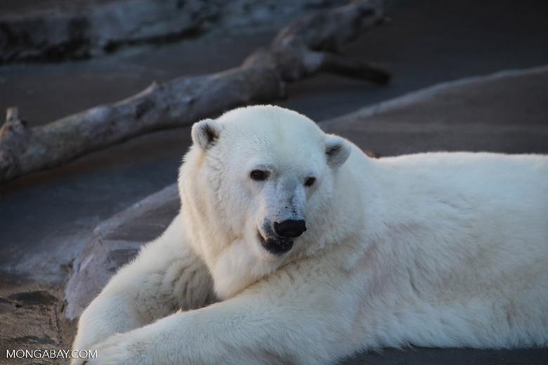 Polar bear. Photo by Rhett Butler.