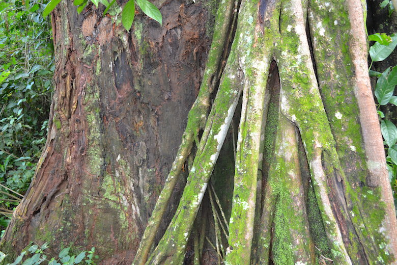 The Nganyi shrine has some of the oldest indigenous trees in Kenya's Vihiga County. Photo by Isaiah Esipisu.