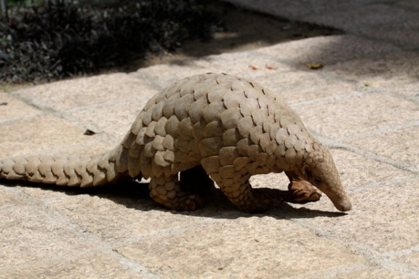 Indian Pangolin (Manis crassicaudata) in Kandy, Sri Lanka. Photo by Dushy Ranetunge from Wikimedia CC By-SA 3.0