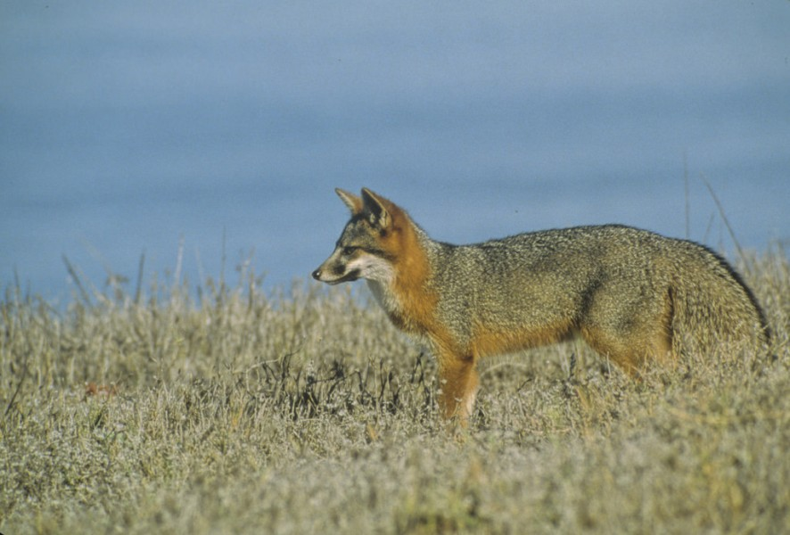A Santa Cruz Island fox roams across the terrain of Santa Cruz Island.Photo courtesy of Dan Richards/NPS