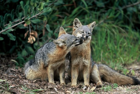 Island fox populations have recovered following an aggressive recovery plan. Photo courtesy of Chuck Graham.