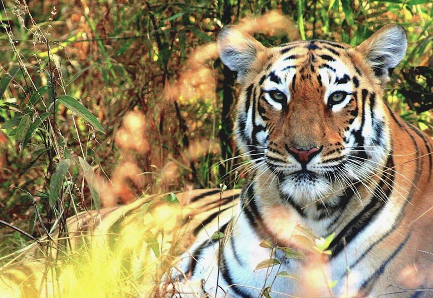 There are only around 100 Bengal tigers still living in the Sundarbans, down from around 440 in 2004. Photo taken in India by Morgan Erickson-Davis.