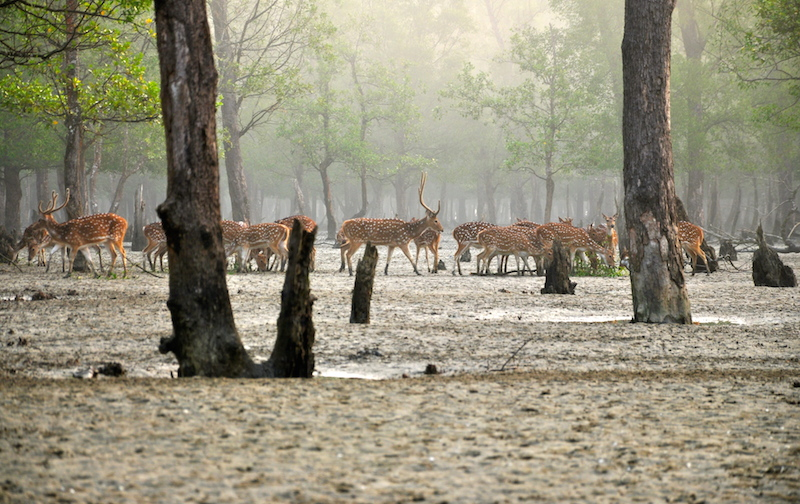 Chita deer (Axis axis) emerge from the mists of the Sundarbans. Photo by Fabian Lambeck via Wikimedia Commons (CC 4.0)