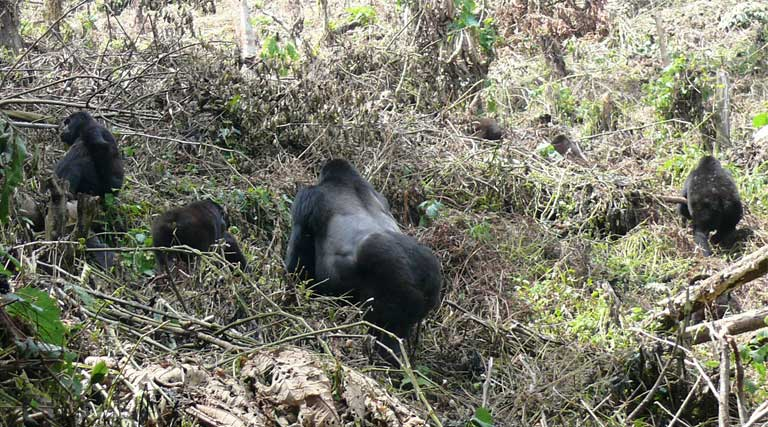 """""""A gorilla is not a gorilla is not a gorilla."""" The behavior of gorilla groups varies greatly across their geographical range, according to scientist Martha Robbins. Photo by Nicole Seiler"""