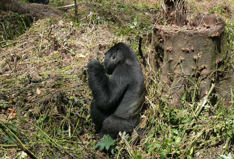 Bwindi gorilla foraging. Tea is considered a good buffer crop, as great apes don't feed on it. Photo by Nicole Seiler
