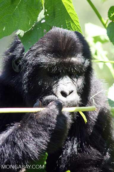 A Bwindi mountain gorilla nibbles a native plant inside the park. Photo by Rhett A. Butler