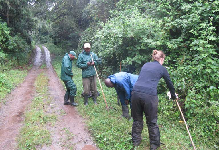 Over a period of two years the research team sampled and measured some 94,000 plants and trees throughout the gorillas' range within the National Park to determine what and where gorillas were eating. Photo by Nicole Seiler