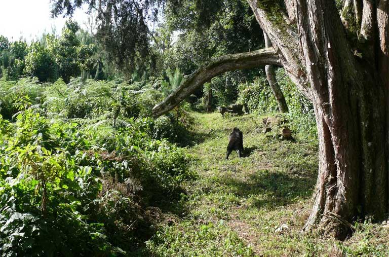 A Bwindi gorilla among eucalyptus. The Bwindi Impenetrable National Park is home to nearly half the world's remaining mountain gorillas. Photo by Nicole Seiler