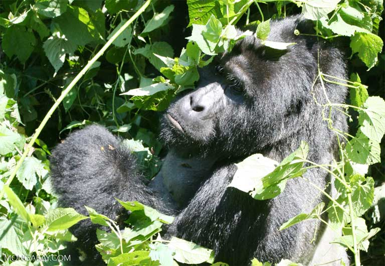 A silverback mountain gorilla in Uganda's Bwindi Impenetrable National Park. Photo by Rhett A. Butler