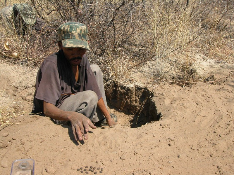 San man digging up cocoons (note dark ovals on sand in foreground). Photo by Caroline Chaboo.