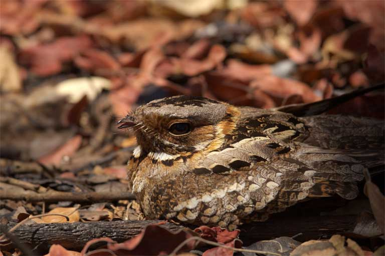 1.A Pennant-winged nightjar (Macrodipteryx vexillaria) remains still enough to step on while protecting her clutch of eggs in the grasslands of southern Zambia. Nightjars will not fly away when a predator approaches, relying on patterned plumage to provide camouflaged protection. Photo by Claire Spottiswoode