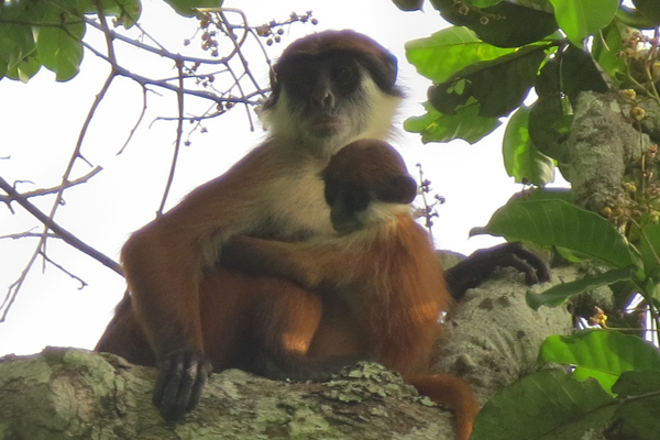 Detail from the world's first photo of Bouvier's red colobus (Piliocolobus bouvieri) taken early March 2015 in the Ntokou-Pikounda National Park in the Republic of Congo. The photo shows an adult female with offspring. Photo by: Lieven Devreese.