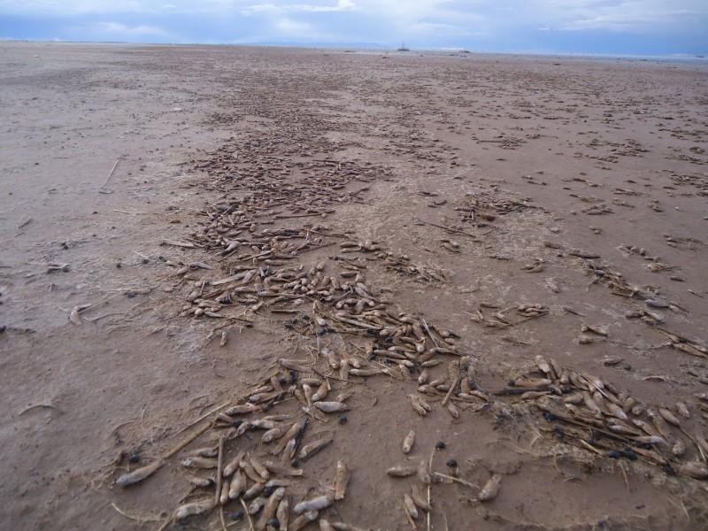 Millones de peces mueren en las orillas del Lago Poopó, Noviembre de 2014 (Ayllu Pumasara, ribera oriental del lago). Fuente: CEPA.