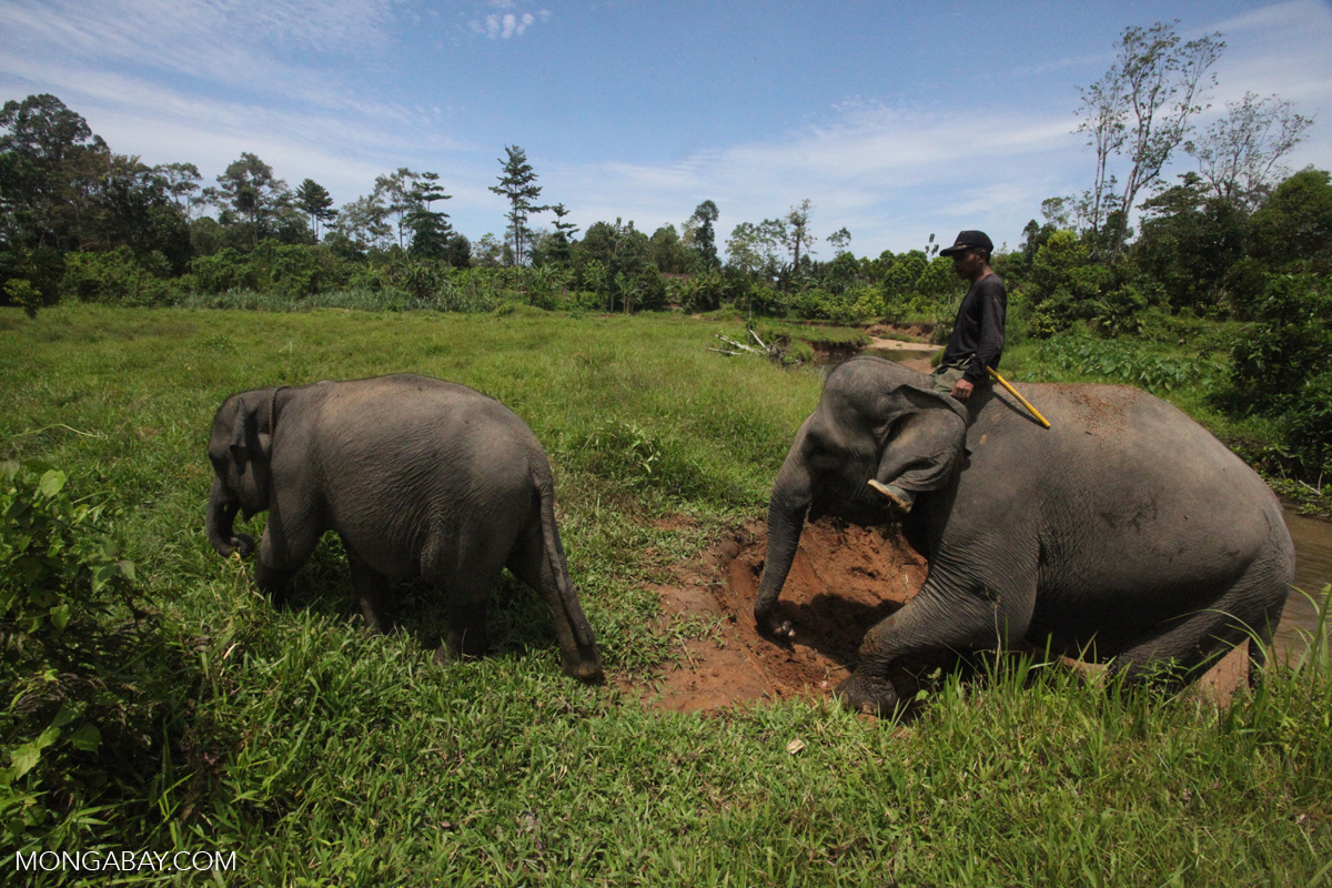 Sumatran elephants in Indonesia's Leuser Ecosystem, one of the region's last great swaths of intact rainforest. Rapid oil palm expansion is eating away at the creatures' habitat and driving them into increased conflict with humans. Photo by Rhett A. Butler/Mongabay