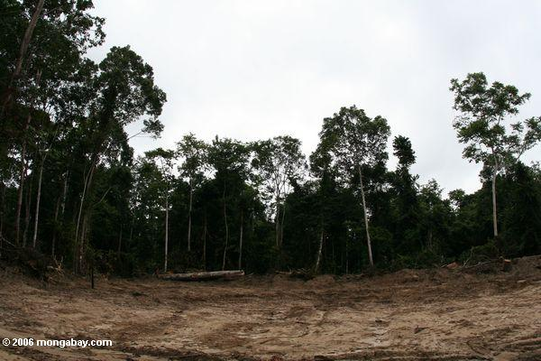 Republic of the Congo recently announced 6 timber concessions covering 2 million hectares (7,722 square miles), an area about the size of Israel. Clear cutting of African forests, like that shown here in Gabon, can be highly destructive of ecosystems. Photo by Rhett A. Butler