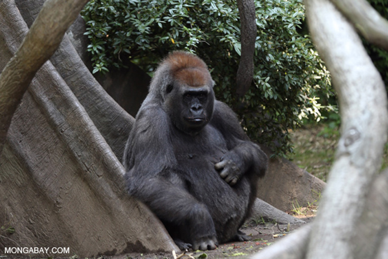 In 2008, scientists with the Wildlife Conservation Society boosted Republic of the Congo population estimates for the Critically Endangered western lowland lowland gorilla (Gorilla gorilla gorilla) to around 125,000 individuals. These animals and their habitat could be seriously threatened by poorly regulated logging operations. Photo by Rhett A. Butler