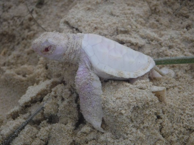 A group of volunteers spotted an extremely rare albino green turtle hatchling on Queensland's Sunshine Coast. Photo courtesy of Coolum District Coast Care Group.