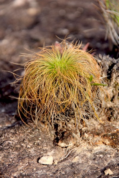 A type of grass called wacauma is found in northern Bolivia's savannas. it is resistant to fire, growing back after an area is burned. Photo by Morgan Erickson-Davis.