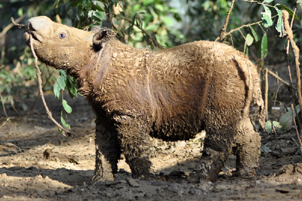 A young Andatu, the son of Andalas and Ratu, enjoys a mud bath. Photo courtesy of the Sumatran Rhino Sanctuary