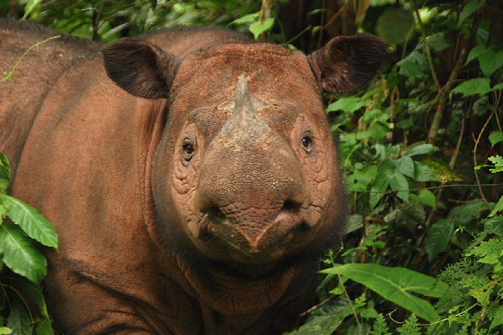 Ratu the rhino. She's expecting her second calf this spring. Photo courtesy of the Sumatran Rhino Sanctuary