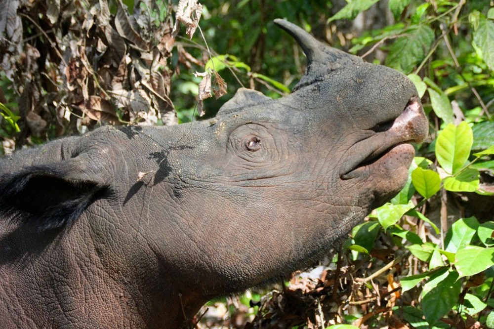Rosa the rhino. Scientists hope she'll mate with Harapan. Photo by Ridzki R. Sigit